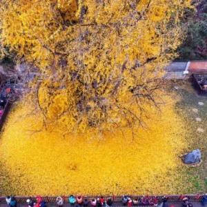 千年银杏树成网红参观需预约 相传为李世民栽种--华夏文化艺术网